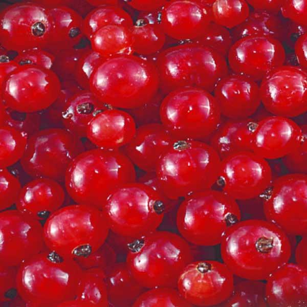 Obst Rote Johannisbeeren Jütro Tiefkühlkost